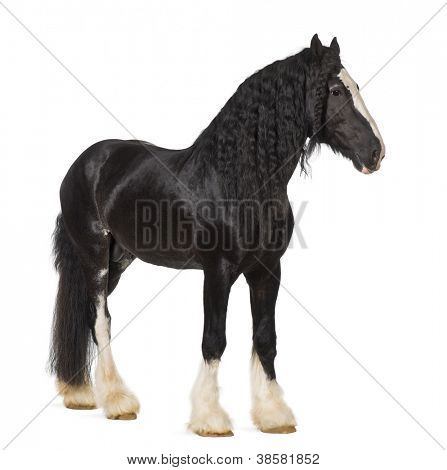 Shire Horse standing against white background