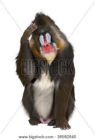 Mandrill scratching head, Mandrillus sphinx, 22 years old, primate of the Old World monkey family against white background
