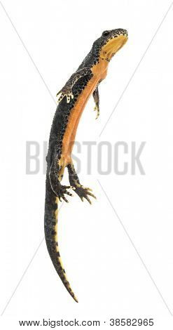 Alpine Newt surfacing, Ichthyosaura alpestris, formerly Triturus alpestris and Mesotriton alpestris against white background
