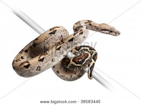 Boa constrictor imperator against white background