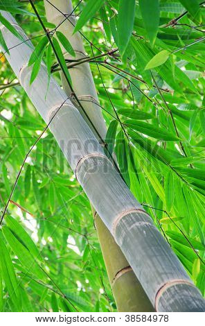 Asian Bamboo forest with morning sunlight