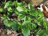 picture of arum  - Arum maculatum var - JPG