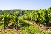Vineyards Of Alsace