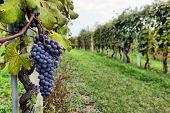 image of merlot  - merlot grapes on the vine in vineyard - JPG