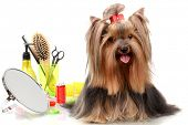 foto of yorkie  - Beautiful yorkshire terrier with grooming items isolated on white - JPG
