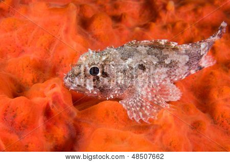 Scorpionfish, Scorpaena porcus, over red encrusting sponge
