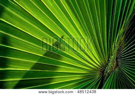 Corpha utan Leaves