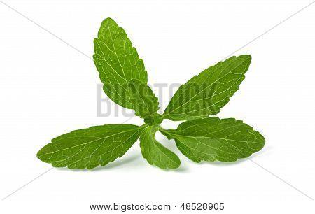 fresh stevia leaves on a white background