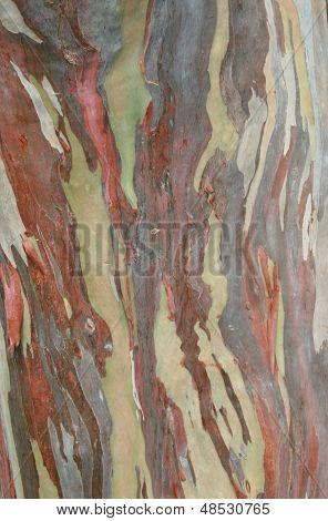 Eucalyptus eglupta Tree Bark Texture