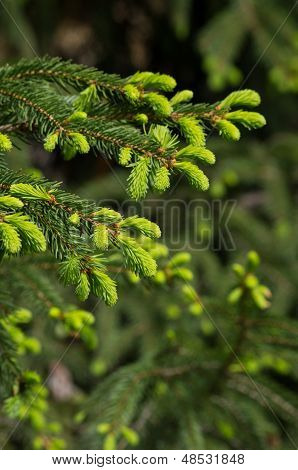 a fir branch with fresh sprouts in the spring