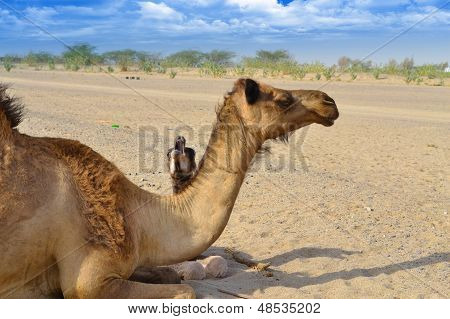 Little camel crying freedom with his mother