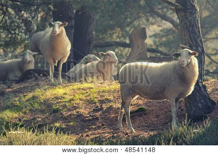 Sheep In The Early Morning Light