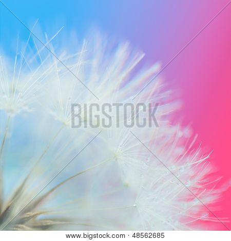False dandelion close up