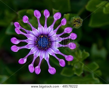 African Daisy flower