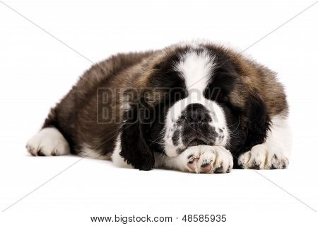 St Bernard Puppy Isolated On White