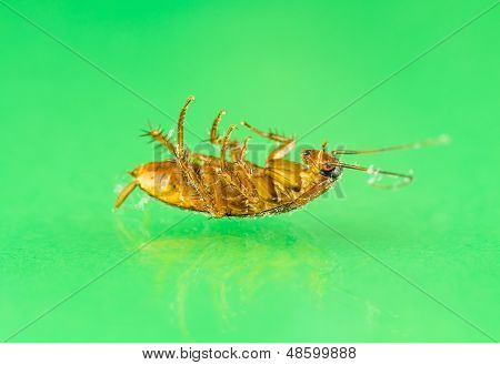 Dying Cockroach Close Up