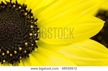 Annual Yellow Sunflower
