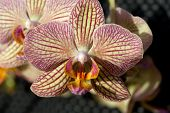 picture of freaky  - close up of Freaky orchid pink and yellow  - JPG