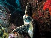 stock photo of crevasse  - Green Hawksbill Turtle holding on in a strong current in a crevasse - JPG