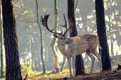 stock photo of mule deer  - young deer posing in the forest netherlands - JPG