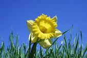 image of single flower  - daffodil in grass with sky above - JPG