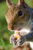 picture of walnut-tree  - Squirrel eat walnut - JPG