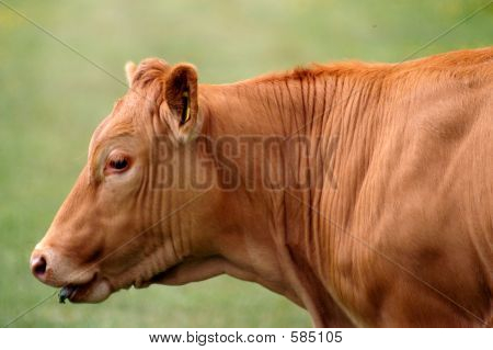Rusty Cow