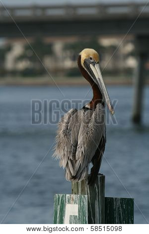Pelican on harbor mooring