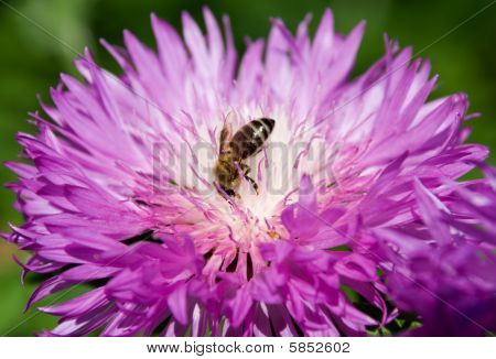Bee gathering nectar