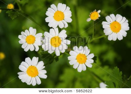 Camomile (mayweed) flowers in spring