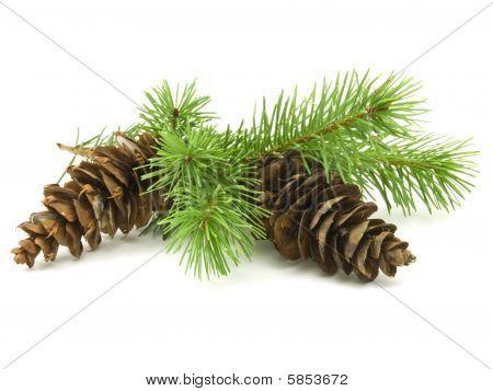Conos de pino