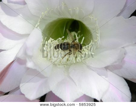 Cactus Bloom With Bee Serching For Food