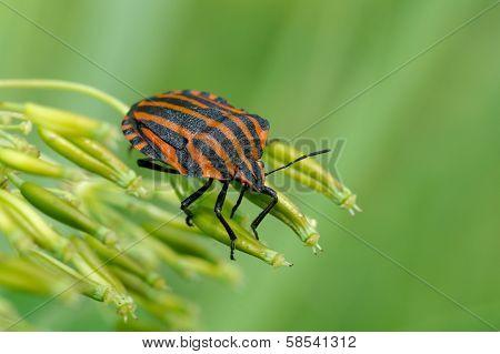 Italian Striped-bug