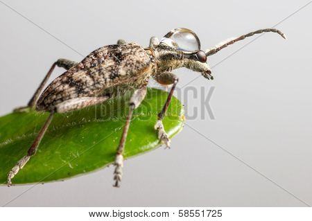 The blackspotted pliers support beetle (Rhagium mordax)