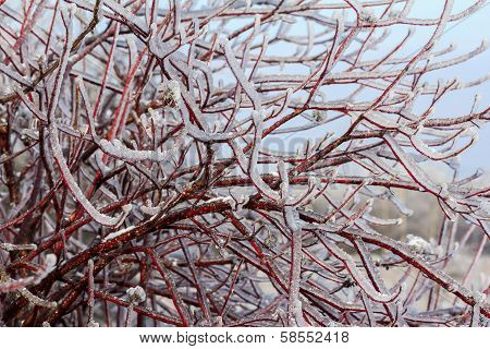 Intensely Red Branches Of Willow Tree Engulfed In Ice