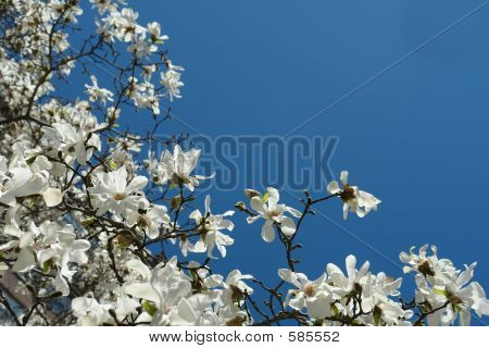 White Magnolia And Blue Sky
