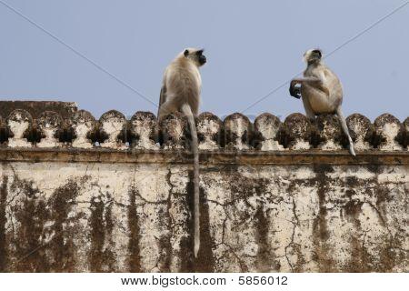 Hanuman Langur (semnopithecus Entellus) Monkeys. Amber Fort, Rajasthan, India