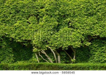Background Of Beautiful Green Foliage