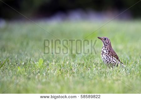 Meadow Pipit in the wild