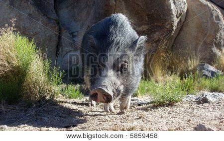 Pot Bellied Pig In The Desert