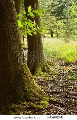 Oak Trunks With Mosses In Summer