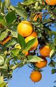 stock photo of valencia-orange  - Trees with orange typical in the province of Valencia - JPG
