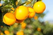 pic of valencia-orange  - Trees with orange typical in the province of Valencia Spain