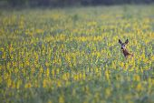 Roe deer hidden in the flowers