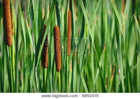 Reeds Background with Cattails