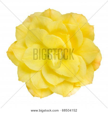 Dahlia Flower Yellow Petals Isolated On White