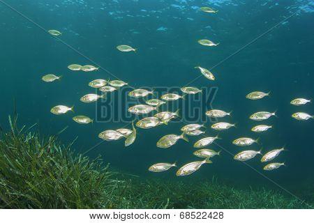 Fish school underwater over sea grass