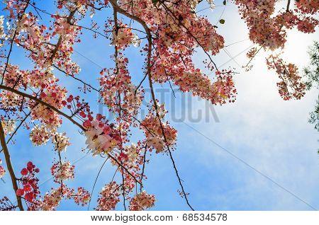 Pink Flowering Tree Similar Sakura