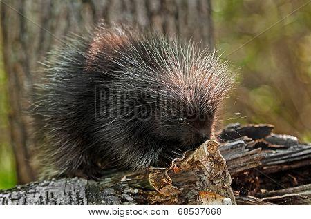 Baby Porcupine (Erethizon dorsatum) On Birch Branch