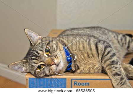 Gray Tabby Cat Relaxing On Cardboard Box